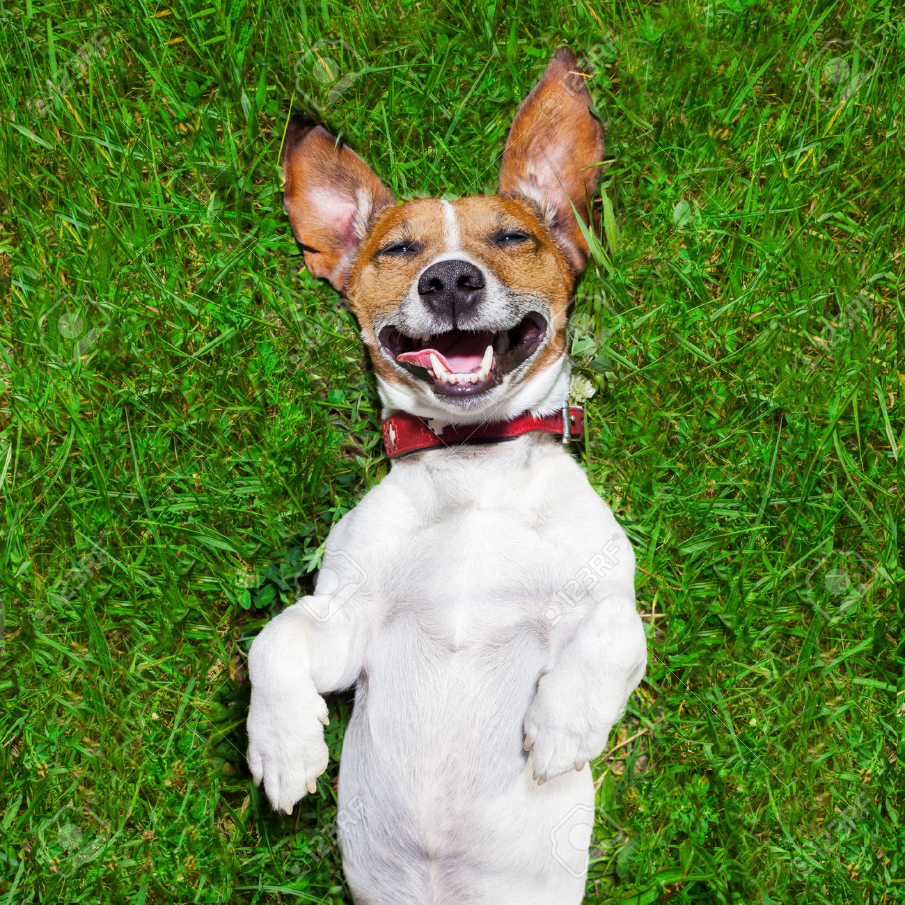 Can A Jack Russell Be A Therapy Dog