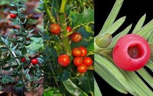 Os tres froitos teñen o seu perigo, e o do acivro -no centro- incluso pode provocar a morte