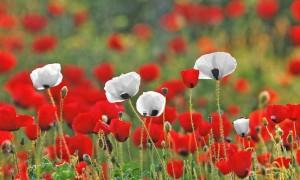 Houellebecq describe un campo de flores como unha explosión de vulvas e penes de cores