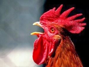 El gallo que no canta en su gallinero es porque ya cantó en el forastero