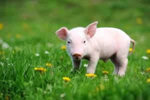 Cómo-cuidar-de-un-cerdo-vietnamita-enano