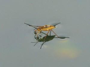 insecto-acuatico-696x522